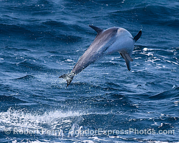 Delphinus delphis leaping rough seas 2019 10-27 SB Channel--086