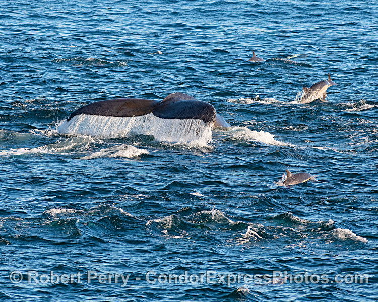 A humpback whale is shown swimming amongst the common dolphins.