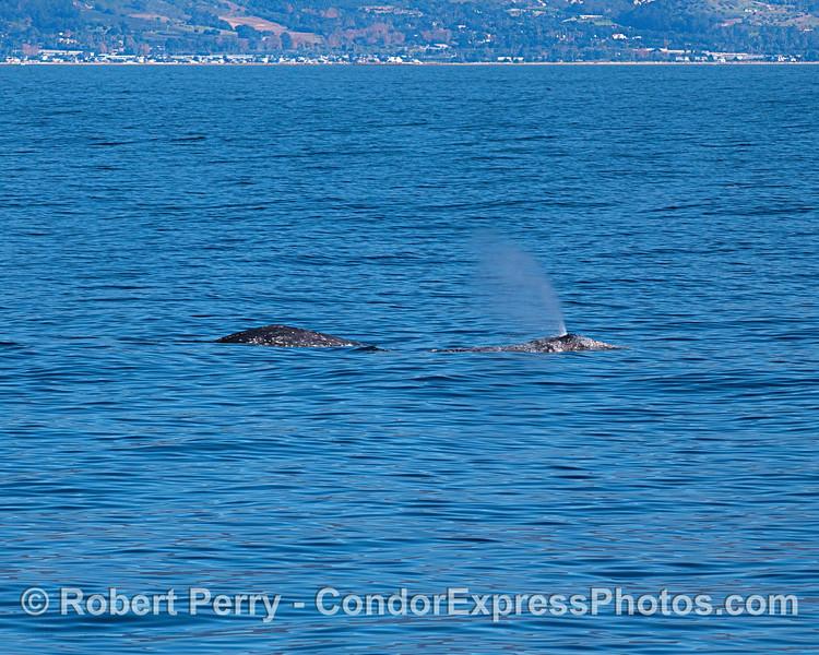 A pair of gray whales off the Santa Barbara coast.