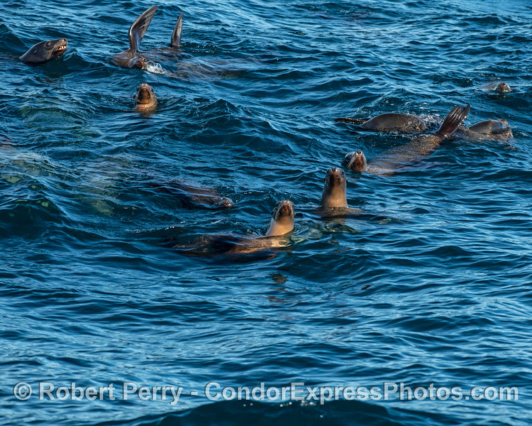 Another part of a mob of sea lions.
