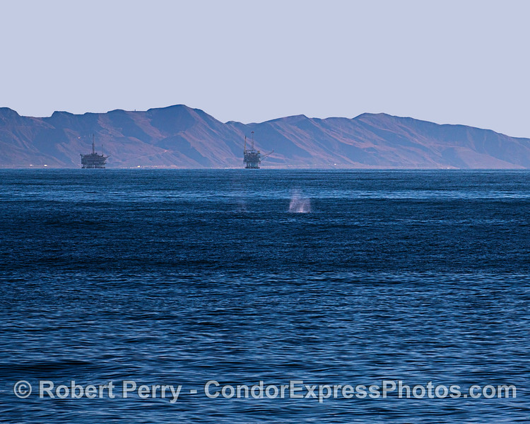 A pair of southbound migrating gray whales passes close to the line up of 7 offshore oil platforms near Carpinteria, California.