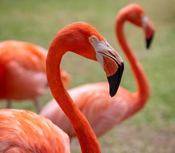 DA054,DN,Poses of a Flamingo