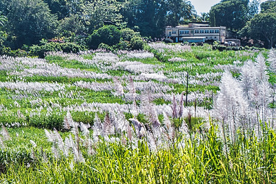 Sugar Cane in Bloom