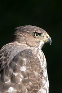 DA029,DN,coopers hawk5