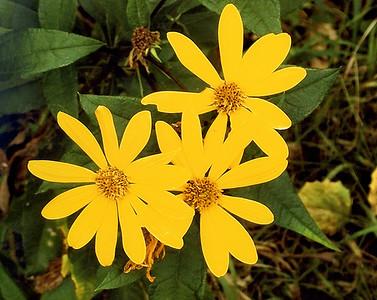 DA104,Three Ladies (flowers)