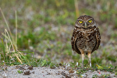 DA079,DP,Burrowing owl
