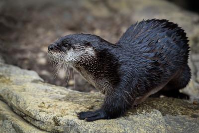 DA099,DN,River Otter