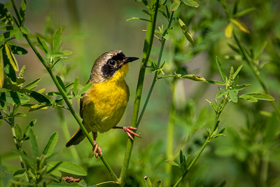 DA054,DN,Common Yellow Throat