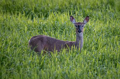 DA054,DN,Curious Deer