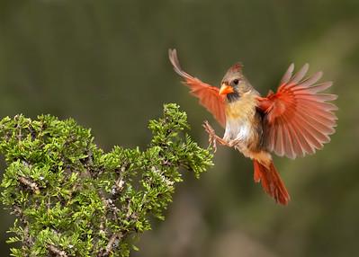 DA061,DN,Cardinal