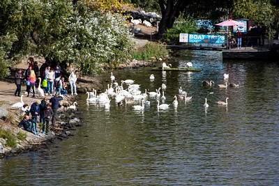 Swans on the Vltava