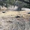 Wild turkeys at New Almaden park.