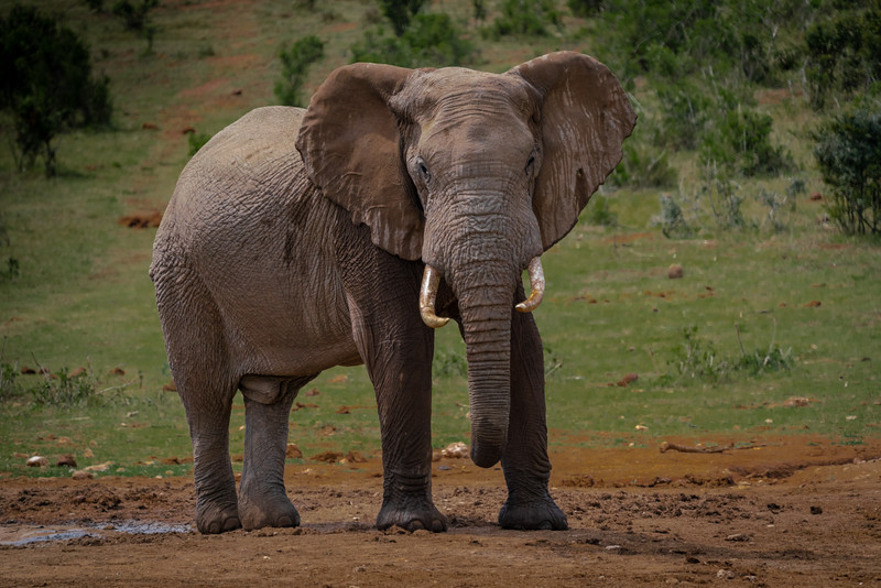Bull Elephant giving me the stare down!