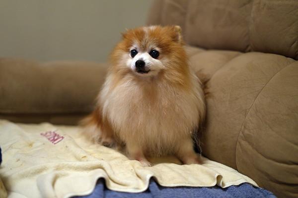 Sami, Pomeranian