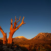 A long dead tree stands against the early morning sky as the sun rises over Bishop.
