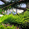 Pine? tree in Solento