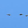 Pelicans in Cartagena