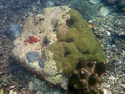 Encrusting coral