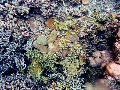 Plate coral & helmet plate coral