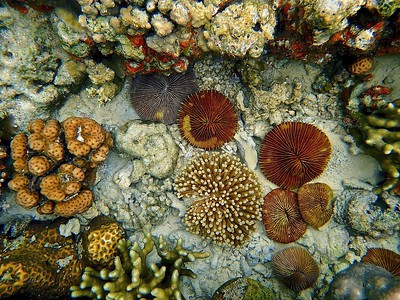 Long-tentacle plate coral  & plate coral