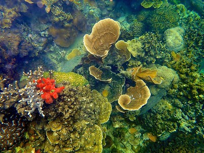 Yellow scroll coral