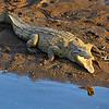 Crocodile on the river bank