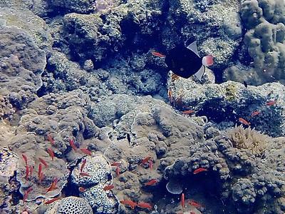 Pinktail triggerfish