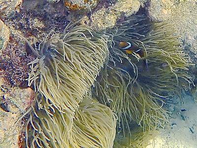 Orangefin anemonefish and leather anemone
