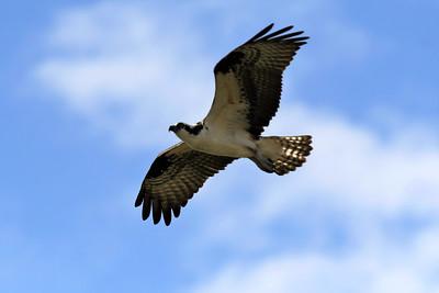 CSN_8151_osprey