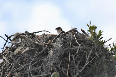CSN_8143_osprey