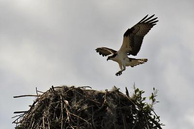 CSN_8140_osprey