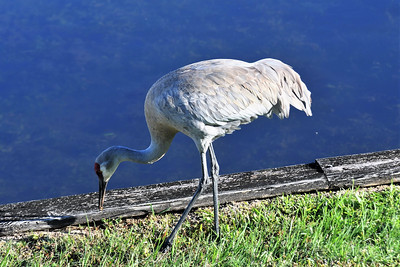 CSN_8060_sandhill crane