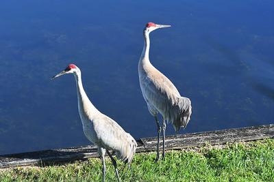 CSN_8055_sandhill crane
