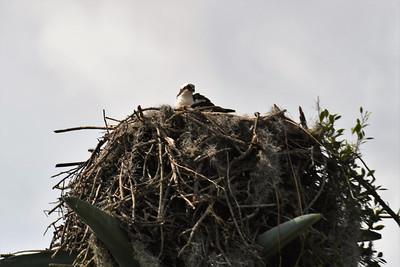 CSN_8142_osprey