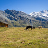 9/13 - Cows and Bishorn