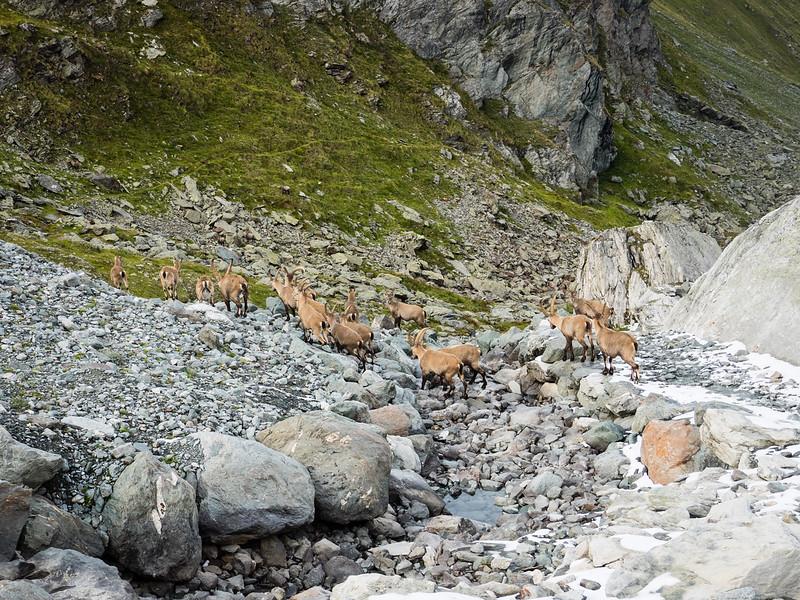 9/9 - Herd of ibex