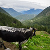 9/6 - Cow overlooking Rhone Valley