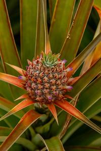 Pineapple at Dole Plantation