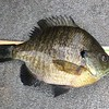 """9 1/2"""" BLUEGILL...NICE FISH BUT THERE WERE  BIGGER ONES....."""