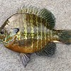 """A NICE 9"""" PUMPKINSEED, BUT COULDN'T WIN ANY MONEY  !!"""