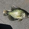 """11 1/2"""" CRAPPIE WASNT ENOUGH....THE WINNER WAS 14 1/2"""""""