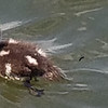 THIS BABY LOON HAD LOST IT'S MOTHER AND ALMOST TRIED TO CLIMB INTO OUR BOAT!