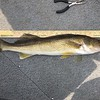 """THIS 26"""" WALLEYE WON FIRST PLACE IN OUR WALLEYE CONTEST!!"""