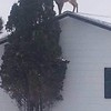 """DEER DO LOVE TO EAT CEDAR!!  OWNER SHOVELED OFF HIS ROOF..WHICH CREATED SORT OF A """"RAMP"""" ALONGSIDE THE HOUSE."""