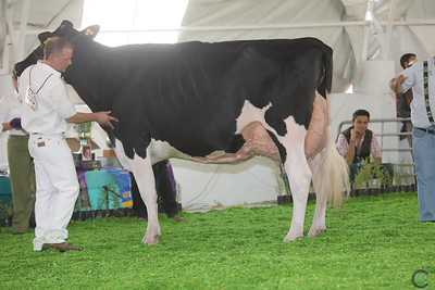 Mexico Holstein Int Cows 16