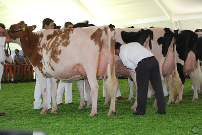 Mexico Holstein Sr Cows 16