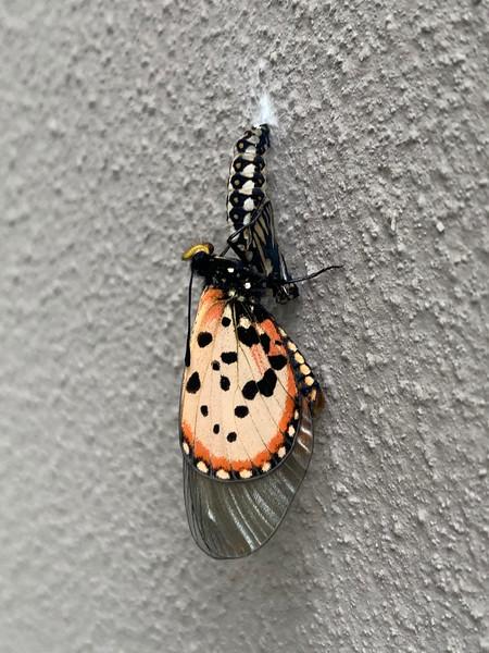 New Butterflies