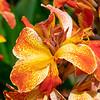 Orange Flower-1
