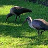 "Our front yard ... Hadada Ibis; also known as ""Those noisy birds"""