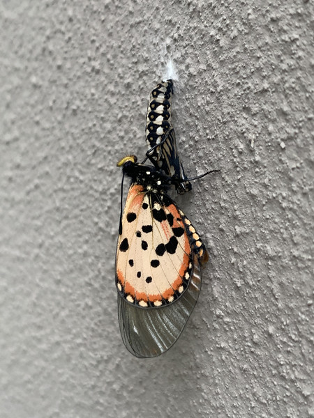 We've had dozens of butterflies pick the side of our house to be born.